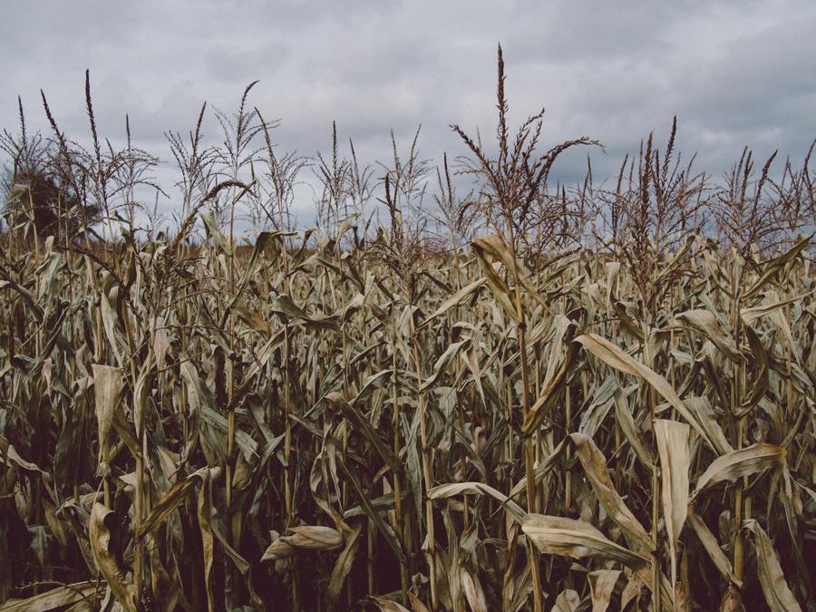 Corn farm in Wisconsin